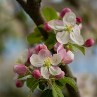 Цветущая яблоня :: Александра Довгалюк