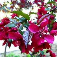 Яблоня цветет. :: Ирина