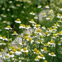 Ах, ромашки! Цветы луговые – золотисто-белый дурман… :: Татьяна Смоляниченко