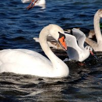 Лебеди :: Наталья Каракуца