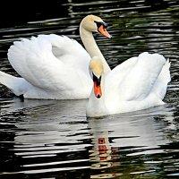 Лебеди :: Сергей