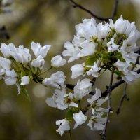 Яблоневый цвет :: Лидия Суюрова