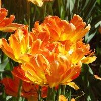 Фестиваль тюльпанов :: Вероника