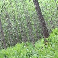 лес и папоротник :: Светлана Рябова