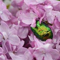Сладкие сиреневые сны под майским дождем :: Vera_85916050