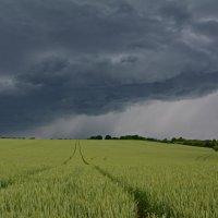 Пшеничное поле :: Петр Заровнев