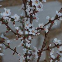 Цветущая вишня :: Вячеслав & Алёна Макаренины