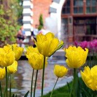 Жёлтые тюльпаны встречают при входе! :: Татьяна Помогалова