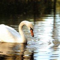 Лебяжье озеро :: Ruslan --