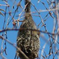 гнездо ремеза :: gawrilа - dan