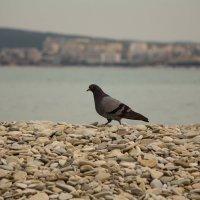 Геленджикский голубь :: Александра Довгалюк