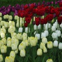 Тюльпаны полюбились мне давно :: Вероника