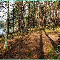 Утро в сосновом лесу... :: Николай Дони