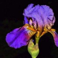 Цветы чудесные, ирисы. :: Валентина ツ ღ✿ღ