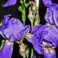 Ирисов лёгкие цветы. :: Валентина ツ ღ✿ღ