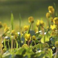 Лютик весенний, или чистяк :: Татьяна Найдёнова