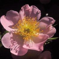 Шиповник цветет. :: Nata