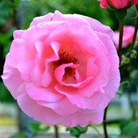 Розовый :: Артур Хороший