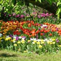Тюльпаны в Коломенском :: Татьяна Лобанова