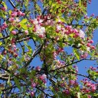 В Яблоневом саду :: Елена Павлова (Смолова)
