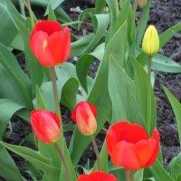 Тюльпаны :: Лидия Суюрова