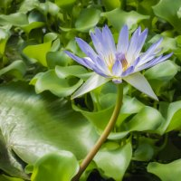 Водяная лилия :: Герасим Харин