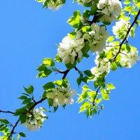 яблоня и небо :: Полина Потапова