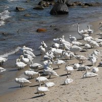 Лебеди на море - чистят пёрышки :: Маргарита Батырева
