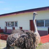 подросток африканского страуса :: Дмитрий Солоненко