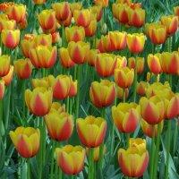 Фестиваль тюльпанов :: Ольга