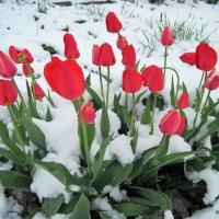Тюльпаны в снегу. :: Людмила Грибоедова