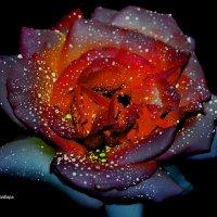розочка страстная :: Роза Бара