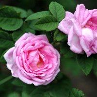Tea roses :: Олег Шендерюк