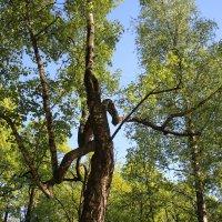 Деревья Александровского парка :: Наталья Герасимова