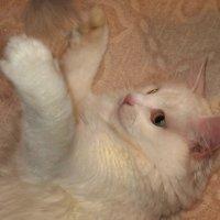 Кошка Соня. фото-3. :: Nata