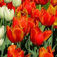 Алые тюльпаны :: Сергей Карачин
