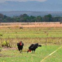 Карфский рогатый ворон в Танзании :: Александр Бойченко