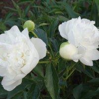 Белые пионы майским вечером... :: Тамара (st.tamara)
