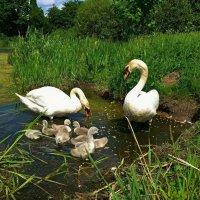 Лебединая семья :: Nina Yudicheva