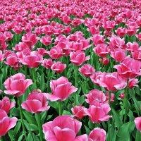Цветут тюльпаны. :: Лариса Вишневская