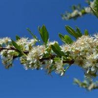 Цвет вишни :: Вера Андреева