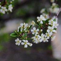 Весны цветение :: victor Lion