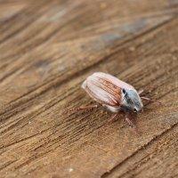 майский жук :: Елена Иванкина