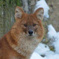 Красный волк... :: Наташенька *****