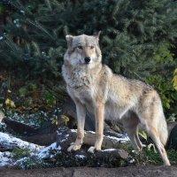 Европейский волк… Волчица Рада. :: Наташенька *****