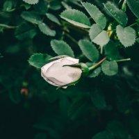 бутон чайной розы :: Ольга (Кошкотень) Медведева