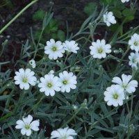 Цветы мая :: Вероника