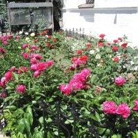 Пионы и розы :: IRENE N (miss.nickolaeva)