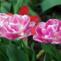 Тюльпаны :: Валерий Новиков