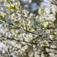Вишня в цвету :: Нина Кутина